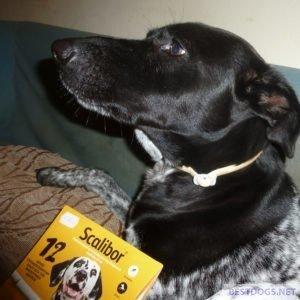 dog wears a protective collar