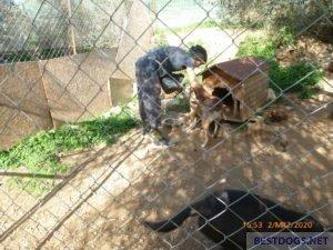 Nikos feeding the dogs.