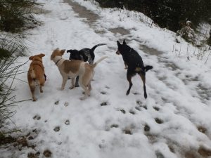 A pack of dogs in the snow.